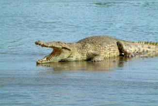 coccodrillo 1