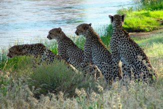 ghepardi 1