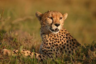ghepardi 2