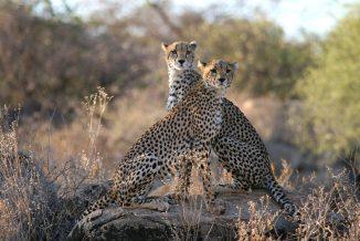 ghepardi 3