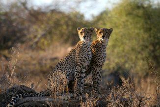 ghepardi 5