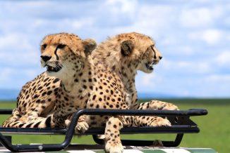 ghepardi 8