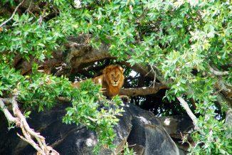 leone 11