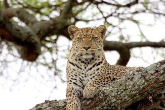 leopardo 02