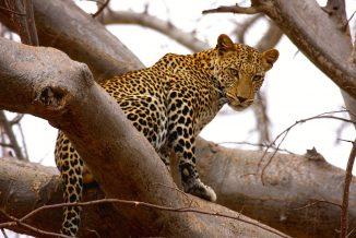 leopardo 03