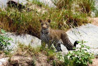 leopardo 04