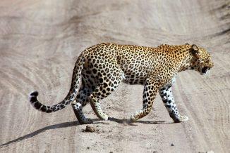 leopardo 05
