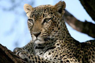 leopardo 06