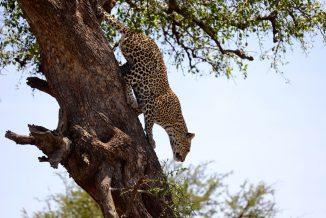 leopardo 08