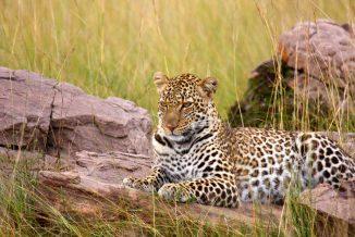 leopardo 09