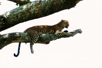 leopardo 10