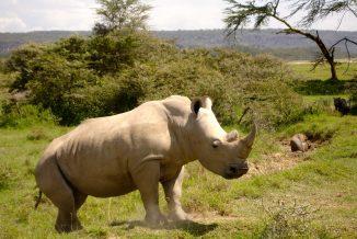 rinoceronte 1