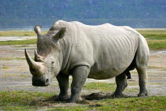 rinoceronte 2
