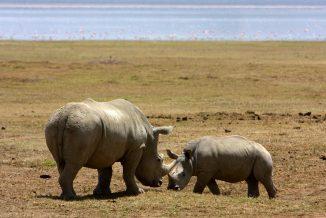 rinoceronte 5