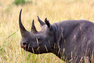 rinoceronte 6