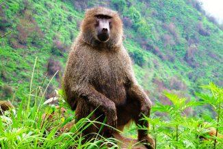 scimmie 1