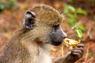 scimmie 3