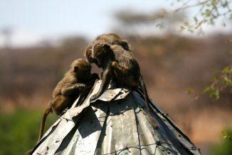 scimmie 4